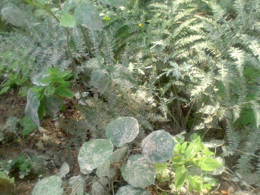 biely_prach_na_rastlinach_vlese