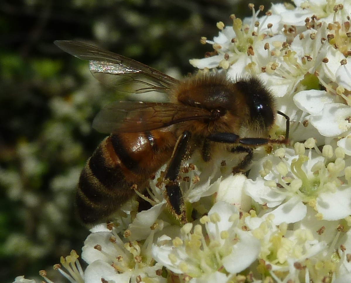 Včela na kvete. (foto: Imriš)